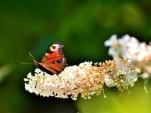 Brittiska trädgårdar Påfågelfjäril på Buddleiadavidii Royaltyfri Bild