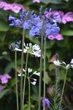 Brittiska trädgårdar Påfågelfjäril på Buddleiadavidii Royaltyfri Foto