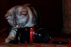 Brittiska uppsättningar för strimmig kattshorthairkatt - upp kameran för att skjuta royaltyfri foto