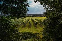 Brittiska vingårdar Surrey - Kent royaltyfri foto