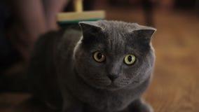 Brittiskt ansa för katt arkivfilmer