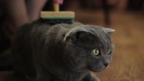 Brittiskt ansa för katt stock video