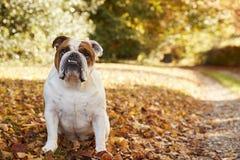 Brittiskt bulldoggsammanträde vid banan i Autumn Landscape Royaltyfri Foto