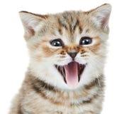 Brittiskt huvud för Shorthair kattungekatt Arkivfoto