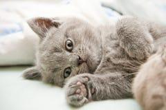 brittiskt ligga för kattunge Royaltyfri Foto