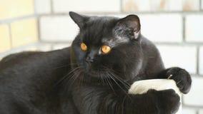 Brittiskt sammanträde för svart katt på balkongen lager videofilmer
