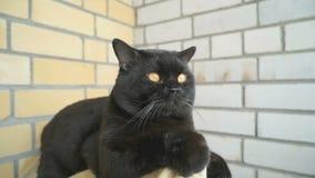 Brittiskt sammanträde för svart katt på balkongen stock video