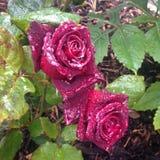 Brittiskt sommarmörker - röd ros med regn Fotografering för Bildbyråer