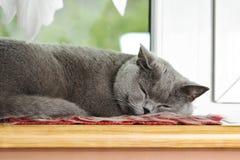 Brittiskt sova för katt Arkivbild