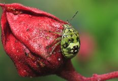 THE BRITTLE ON A RED FLOWER. In morning time the brittle staying on the flower, and laying some eggs there ,the ant try to eat the eggs stock image
