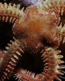 Brittle Seastar. Close up Stock Photography