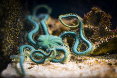 Brittle star in aquarium. Ophiuroidea Stock Photography