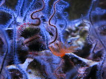 Brittle star Stock Images