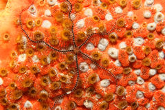 Brittle Star on Coral - Bonaire Stock Images