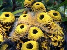 Brittle star over sea sponges. Close-up view of a Brittle star over yellow tube sponges royalty free stock images