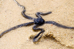 Brittle Star. In the Shallow Water royalty free stock image