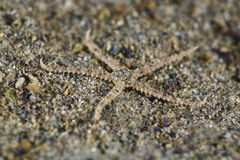 Brittle Star. S Ophiura ophiura are tiny creatures inhabiting the cold green waters of Puget Sound and the Salish Sea. The are usually found on sandy bottoms royalty free stock photos