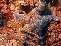 Brittle stars 1 Royalty Free Stock Photos