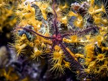 Brittle stars,ophiuroids underwater at night Royalty Free Stock Image