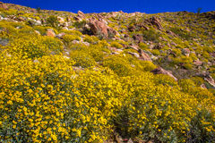 Brittlebrush. Hillside Along Montezuma Vallely Road Covered With Brittlebrush During Super Bloom, Anza Borrego Desert State Park, California Royalty Free Stock Photography