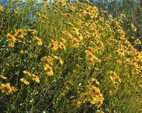 Brittlebush Anza-borrego desert flower. Tall long stemmed actin brittlebush yellow flowers crest a shrub in the Desert Royalty Free Stock Images