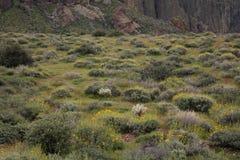 Brittlebush, cactus y la base de la montaña de la superstición, parque de estado perdido del remiendo, Arizona imagen de archivo