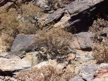 Brittlebush del desierto Fotos de archivo libres de regalías