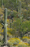 Brittlebush et fleur d'ocotillo avec le cactus de saguaro Photo stock