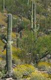Brittlebush and ocotillo bloom with saguaro cactus stock photo