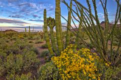 Brittlebush. Organ Pipe Cactus and blooming Brittlebush Sonoran Desert royalty free stock images