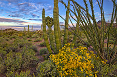 Brittlebush. Organ Pipe Cactus and blooming Brittlebush Sonoran Desert royalty free stock photography