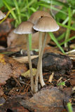 Brittlestem Fungus Stock Images