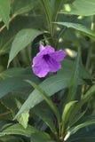 Brittons wild petunia flower. Brittons wild petunia Ruellia simplex. Called Mexican petunia and Mexican bluebell also. Synonym: Ruellia brittoniana Stock Photo