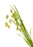 Briza, herbe quacking photo libre de droits