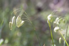 Free Briza Maxima, Aka Big Quaking Or Large Quaking Grass, Blowfly Or Rattlesnake Grass, Shelly, Rattle Or Shell Grass Royalty Free Stock Images - 145379649