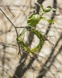 Början av byggande av det nya redet på trädet Weaver Bird africa near berömda kanonkopberg den pittoreska södra fjädervingården Arkivfoto