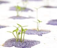 Börjande hydroponic växt Arkivbilder
