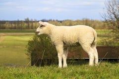 bräka wooly barn för lamb Arkivfoton