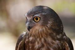 Brkaing Owl Stock Image