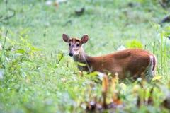 Brking deer Stock Images