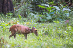 Barking deer closeupwith habitat Stock Images