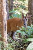 Brking deer profile Stock Photo