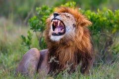 Brüllender Lion Ron auf Masai Mara Lizenzfreies Stockfoto
