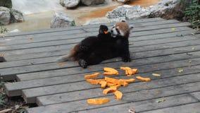 Bärnkatze (roter Panda) Lizenzfreie Stockfotografie