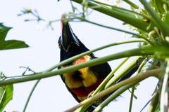 Brännhet fakturerad aracari - Pteroglossus frantzii Royaltyfria Foton