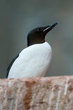 Brünnich's Guillemot, Uria lomvia, white bird with black head sitting on the rock, Svalbard, Norway Stock Image