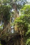 Bro i djungel av apaskogen, Ubud, Bali Arkivbilder