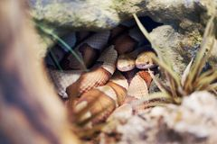 Broad Banded Copperhead snake Royalty Free Stock Images