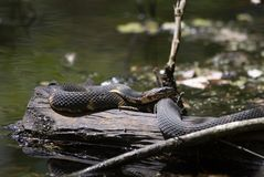 Broad-banded Water Snake on a Log Stock Photos