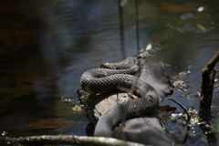 Broad-banded Water Snake on a Log Royalty Free Stock Image